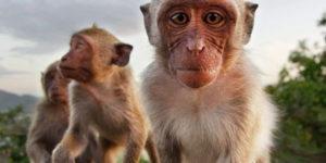BAli Monkeys